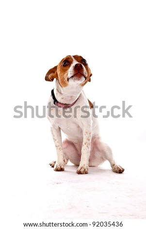 Tan and White small Dog on white background looking up with ears back