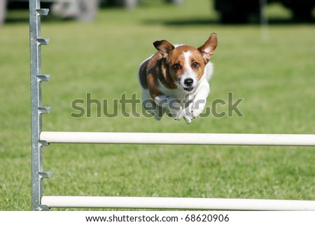Tan and white terrier dog mid leap over an agility jump