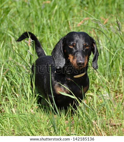 Tan dachshund stands on a green background on the grass.