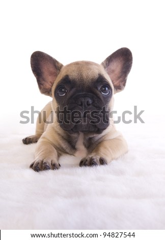 Tan French Bulldog puppy lying down on white background