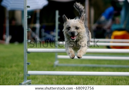 Tan scruffy terrier coming over an agility hurdle
