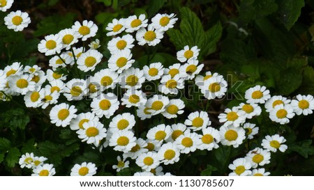 Tanacetum parthenium L. Schultz Bip. feverfew, is a flowering plant in the daisy family Asteraceae.