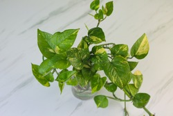 Tanaman Sirih Gading or Devil's ivy plant or epipremnum aurum grow in a bottle with water. Marble pattern with green, yellow gradation color. Marble white background.