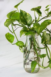 Tanaman Sirih Gading or Devil's ivy plant or epipremnum aurum grow on a bottle with water. Marble pattern with green, yellow gradation color. Marble white background.