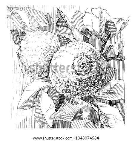 Tangerine branch with leaves. Sketch. Hand drawn line illustration. Illustration for poster or postcard. #1348074584