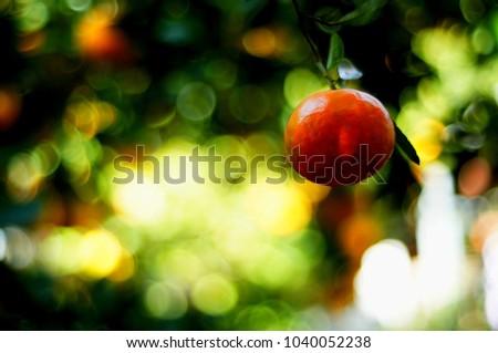 TANGERINE FRUIT AT TREE RANGE #1040052238