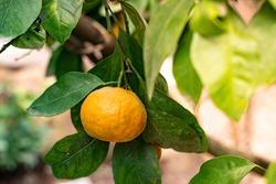 Tangerine garden, fruits on the tree, harvest. Orange ripe mandarin on the tree