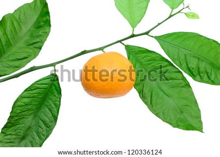 Tangerine on a branch on a white background