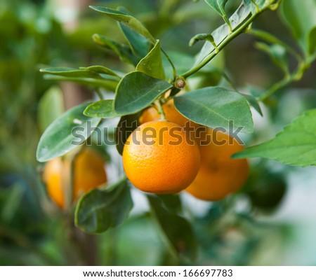 Tangerine On A Citrus Tree