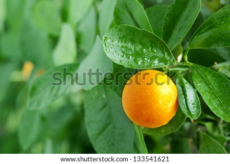 Tangerine on a citrus tree close up.