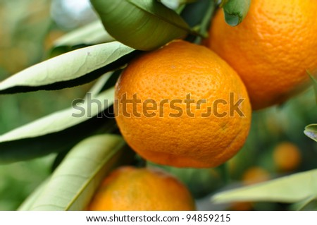 Tangerine on the Tree