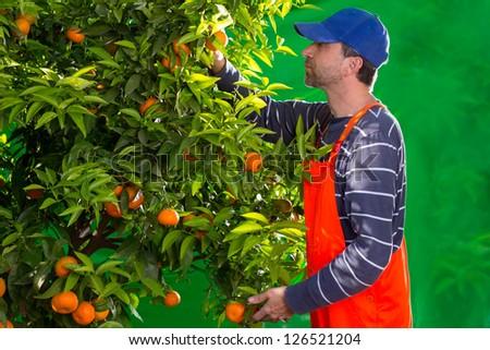 Tangerine orange farmer collecting man in mediterranean Spain