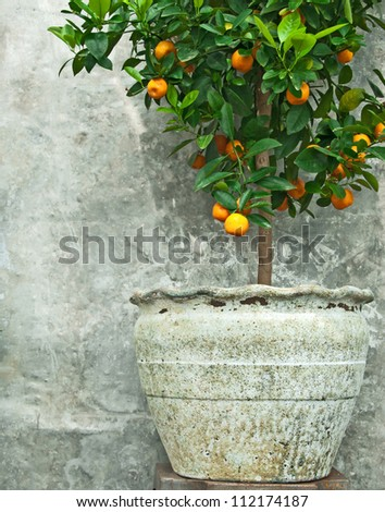 Tangerine tree in old clay pot, on stone wall background.