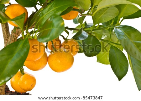 tangerine tree with fruit on a white background