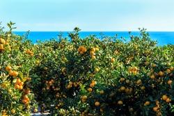 Tangerines are hung on trees in an orchard near Seogwipo, Jeju Island, Korea.