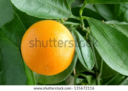 Tangerines on a citrus tree close up.