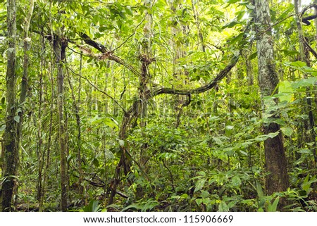 Tangle of lianas in the rainforest understory, Ecuador