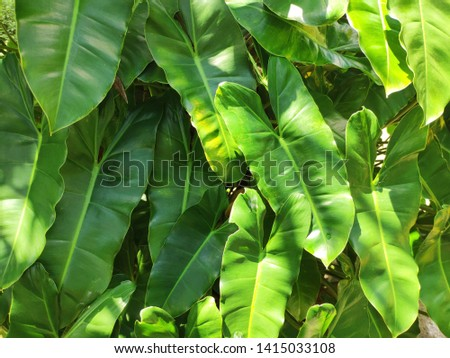 Tania leaves (Xanthosoma sagittifolium) foliage with sun light in the morning #1415033108