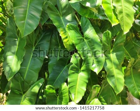 Tania leaves (Xanthosoma sagittifolium) foliage with sun light in the morning #1415217758