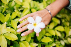 Tanned hand with natural manicure with jewerly cute silver bracelet holds white thai flower plumeria on background of yellow green bright bush.