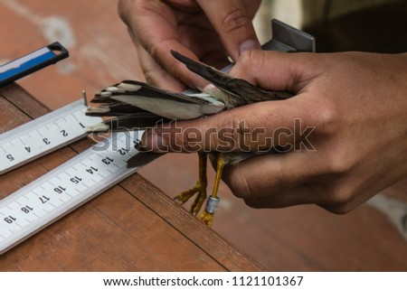 Tanned hands hold a small bird. Near the measuring instruments. Biology, zoology, practical work on the study of birds. Natural conditions, daylight.