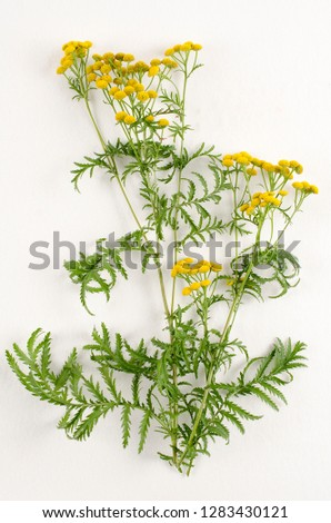 Tansy botanical board
