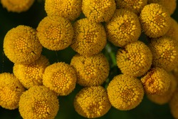 Tansy macro photography. Yellow floral pattern botanical background.