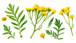 Tansy (Tanacetum vulgare, Common Tansy) - medicinal herb flower. Top view. Set of leaves and flowers of common tansy on a white background. Tansy, plant parts set isolated on white. Medicinal herb.