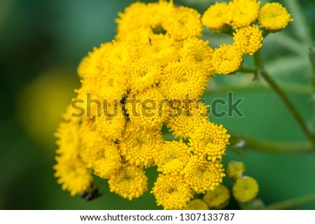 Tansy Tanacetum vulgare is a perennial herbaceous flowering plant in the aster family. It is also known as ordinary tansy, bitter buttons, bitter cows or golden buttons. #1307133787