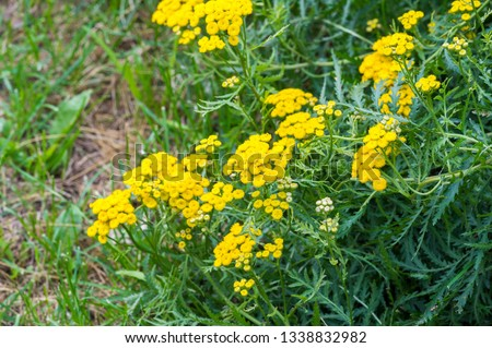 Tansy Tanacetum vulgare is a perennial herbaceous flowering plant in the aster family. It is also known as ordinary tansy, bitter buttons, bitter cows or golden buttons. #1338832982