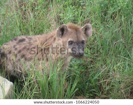 Tanzania, hyena in Ngorongoro Crater, Ngorongoro Conservation Area is a protected area and a World Heritage Site
