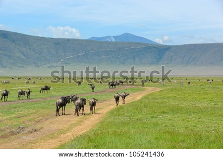 Tanzania, wildebeest antelopes on the dirt road in Ngorongoro crater
