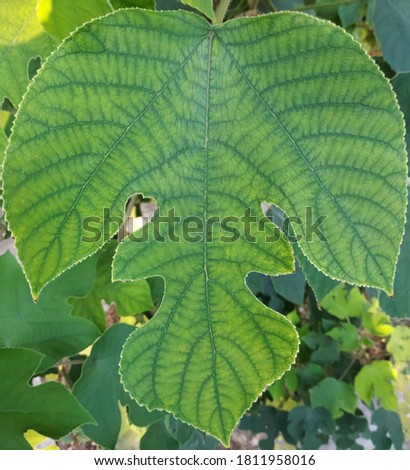 Tapa cloth tree: a species of Broussonetia, also known as Paper mulberry, Aute, Wauke, Poaaha, it's botanical name is Broussonetia papyrifera. Stock fotó ©