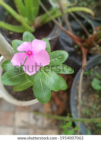 Tapak Dara (Madagascar Periwinkle) is apparently not only useful for some plants that beautify the garden, but also for health. Tapak Dara, which has the scientific name Catharanthus Roseus Don  Stock fotó ©