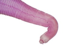Tapeworm (Parasitic flatworm) of cattle and other grazing animals under the microscope for education.