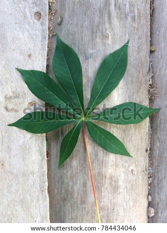 Tapioca leaf on dusty wooden background in agricultural concept , beautiful line leaves #784434046