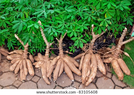 Tapioca Plants Cassava. closeup Useful as background for design-works.