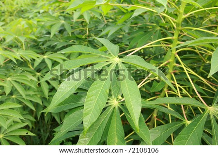 "Tapioca Plants ""Cassava"" or ""Manioc"" aka ""Mandioca"" growing on maui hawaii"