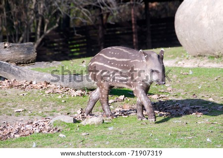Tapir  baby busily pass by a large boulder.