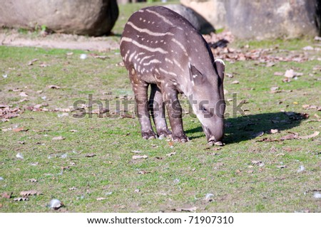 Tapir baby  eats leaves of tree.
