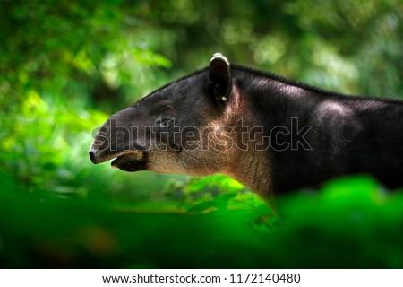 Tapir in nature. Central America Baird's tapir, Tapirus bairdii, in green vegetation. Close-up portrait of rare animal from Costa Rica. Wildlife scene from tropical nature. Detail of beautiful mammal. #1172140480