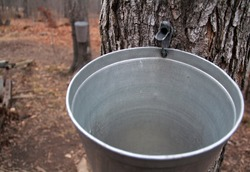 Tapped Maple Tree with bucket