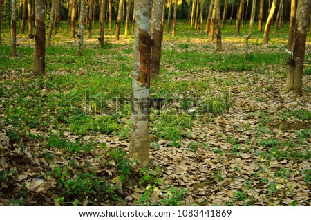 Tapping latex rubber tree, Rubber Latex extracted from rubber tree. #1083441869