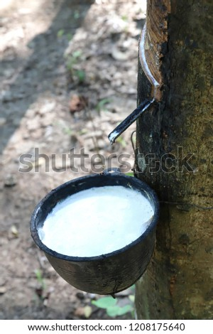 Tapping latex rubber tree, Rubber Latex extracted from rubber tree. #1208175640