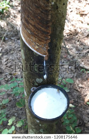 Tapping latex rubber tree, Rubber Latex extracted from rubber tree. #1208175646