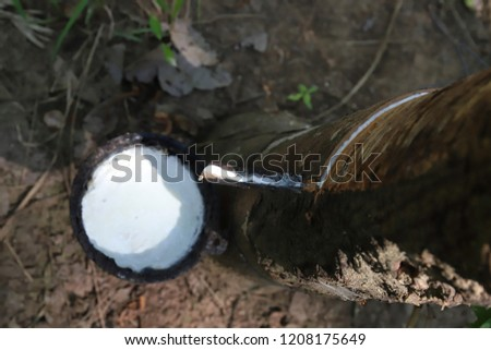Tapping latex rubber tree, Rubber Latex extracted from rubber tree. #1208175649