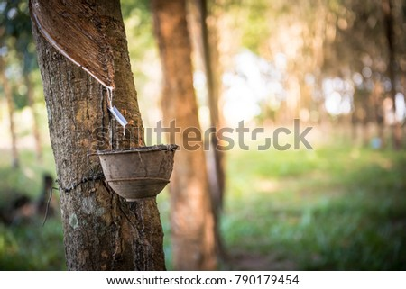 Tapping latex rubber tree, Rubber Latex extracted from rubber tree. #790179454