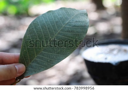 Tapping rubber, Rubber plantation lifes, Rubber plantation Background, Rubber trees in Thailand. #783998956