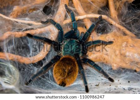 tarantul chromatopelma cyaneopubescens siedz?ca na paj?czynnie Zdjęcia stock ©