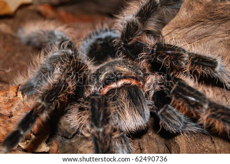 tarantula Brachypelma albopilosum close-up in natural environment